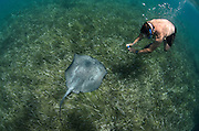 Caribbean Whiptail Ray (Himantura schmardae) & tourist<br /> Shark Ray Alley<br /> Hol Chan Marine Reserve<br /> near Ambergris Caye and Caye Caulker<br /> Belize<br /> Central America