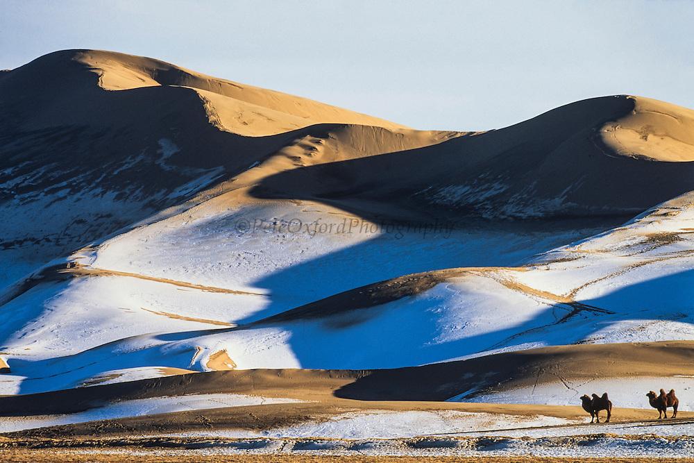 Bactrian camels (Camels bactrians)<br /> Gobi Desert winter<br /> Mongolia