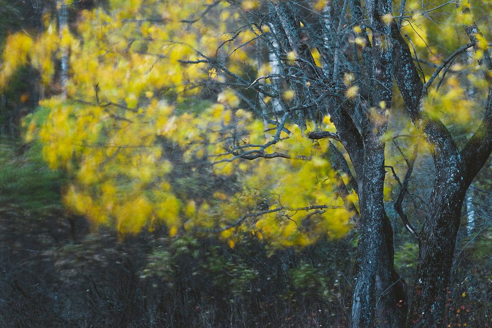 Long exposure of maple tree in late evening while wind shivers the yellow leaves, Gauja National park, Latvia Ⓒ Davis Ulands | davisulands.com