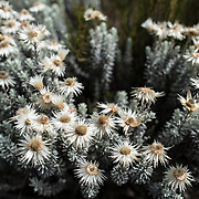 Everlastings (Helichrysum) in flower in the heath zone of Mt Kilimanjaro. These are a distinctive and common plant in this elevation of the mountain.