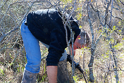 David Trying To Make Way Through Spiny Bushes