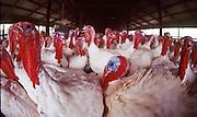 16 AUGUST 1993, ALLENTOWN, PENNSYLVANIA, USA: Turkeys in their barn on a turkey farm in Allentown, PA, Aug. 16, 1993. .PHOTO BY JACK KURTZ