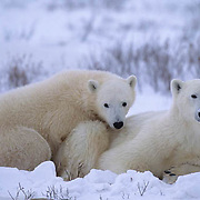 Polar Bear, (Ursus maritimus)  Mother and cub resting. Cape Churchill, Manitoba. Canada.