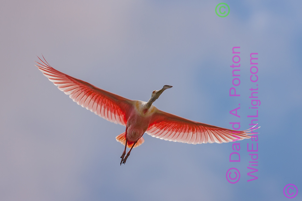 Roseate spoonbill in flight with sunlight showing the semi-transparent feathers, Florida, © David A. Ponton