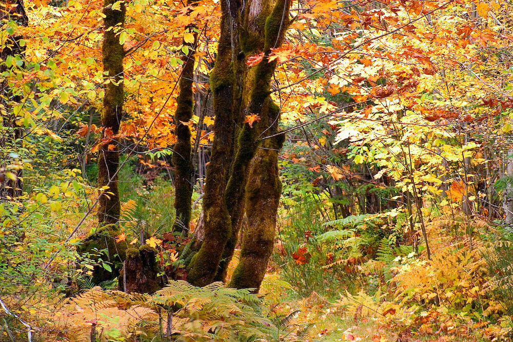 Autumn leaves near the Puntledge River Courtenay, Vancouver island BC