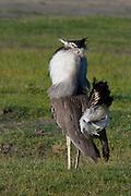 Kori bustard in courtship display, Serengeti National Park, Tanzania.