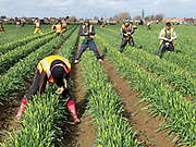 A team of Eastern European farm workers picking daffodils in a field farmed by commercial bulb grower Walkers Bulbs At Taylors, Holbeach, Spalding, Lincolnshire