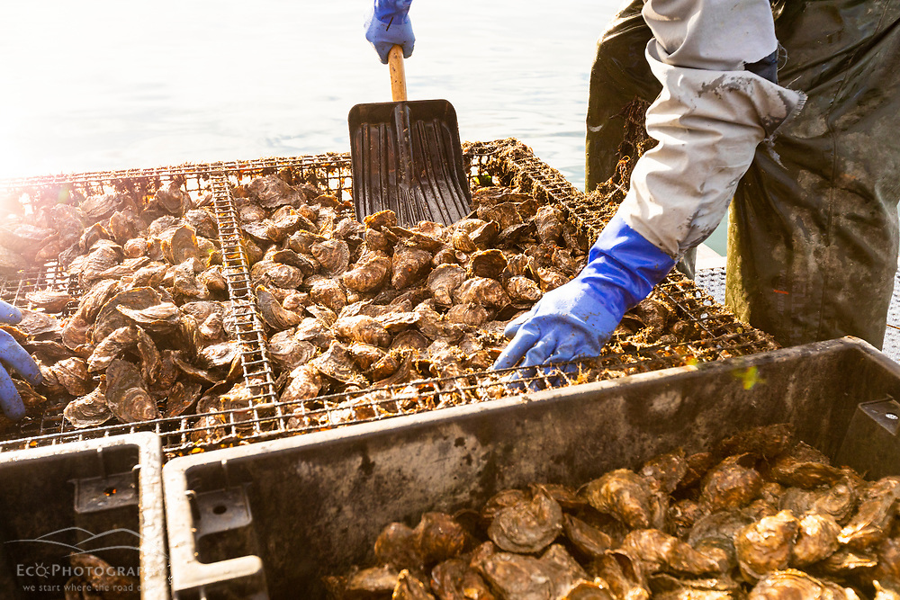 Bay Point Oyster Company harvesting oysters on a boat in Little Bay in Durham, New Hampshire.