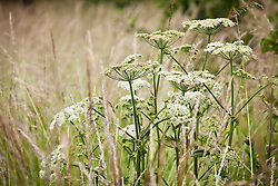 Hogweed in the Wild Flower meadow. Heracleum sphondylium