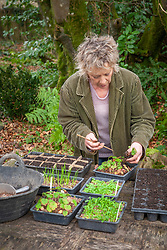 Pricking out seedlings of Geranium wallichianum 'Buxton's Blue'. Carol Klein transferring seedlings into tray separated into sections with cardboard
