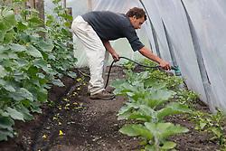 Trinity Organic Farm, Nottinghamshire - volunteer watering plants in polytunnel
