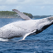 Female humpback whale (Megaptera novaeangliae) breaching. She was engaged in play with her male calf, which was inquisitive and playful.