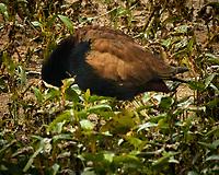 Bronze-winged Jacana. Bharatpur-- Keoladeo Ghana National Park, Rajasthan, India. Image taken with a Nikon 1 V3 camera and 70-300 mm VR lens.