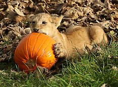 UK - Lion Cubs Play With Halloween Pumpkins - 25 Oct 2016