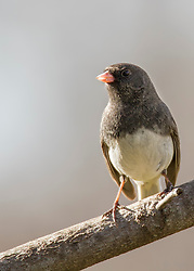 A Dark-Eyed Junco Sitting On A Tree Branch Masked In The Shadows