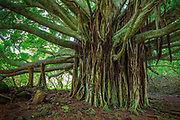 "Banyan tree along the Pipiwai trail to Waimoku Fall in the Kipahulu area of Haleakala National Park in Maui, Hawaii<br /> .....<br /> Haleakalā National Park was established as a separate unit of the National Park System in 1960 (it was previously joined with Hawaiʻi National Park on Hawaiʻi Island). At the time, the park only consisted of the crater area of Haleakalā. On March 26, 1951, Kīpahulu Valley was added to Haleakalā National Park (HNP) as the Kīpahulu Biological Reserve to insure protection of endangered ecosystems within the sanctuary. Eighteen years later on January 10, 1969, the HNP boundaries were expanded to include the Kīpahulu coastal area of ʻOheʻo. Although access in the Kīpahulu Biological Reserve is strictly limited to researchers and managers, the ʻOheʻo region of the park is open for recreation. Attractions include the ʻOheʻo Pools, often called the ""Seven Sacred Pools"" (a name created by tourism proponents), a car-accessible campground, and several maintained trails, such as the four-mile Pipiwai Loop Trail to Waimoku waterfall. The Kīpahulu ʻOhana, a non-profit community organization established in 1995 through a co-operative agreement with Haleakalā National Park to revive, restore, and share the practices of traditional Native Hawaiian culture, also conducts community-based cultural tours in the area."