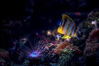 Sailfin tang & Tube-dwelling anemone