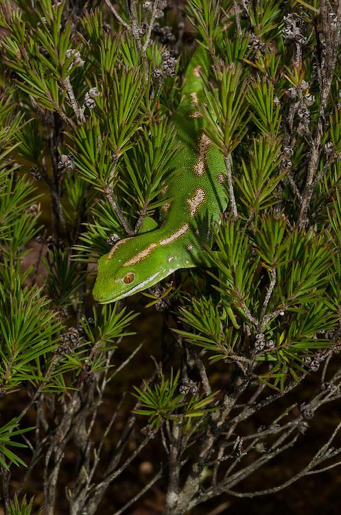 Northland green gecko, Naultinus grayii,
