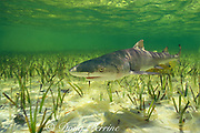 juvenile lemon shark, about 1 year old, Negaprion brevirostris, Bimini Lagoon, Bahamas ( Western Atlantic )