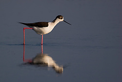 Black-winged stilt in a coastal wetland.