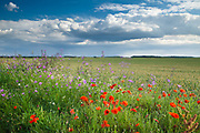 Poppies add a welcome splash of colour to this rural scene south of Titchwell, North Norfolk, East Anglia.