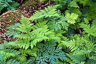 Spiny Wood Fern (Dryopteris expansa) emerging in spring on the forest floor with some Pacific Bleeding Hearts (Dicentra formosa).   Photographed at Williams Park in Langley, British Columbia, Canada.