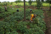 Sweet potato farmers work on a farm run by a local farmer's group in the village of Mwazonge, roughly 30km southwest of Mwanza, Tanzania on Sunday December 13, 2009..