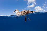 Great Shearwater (Puffinus gravis) photographed offshore Palm Beach, FL.