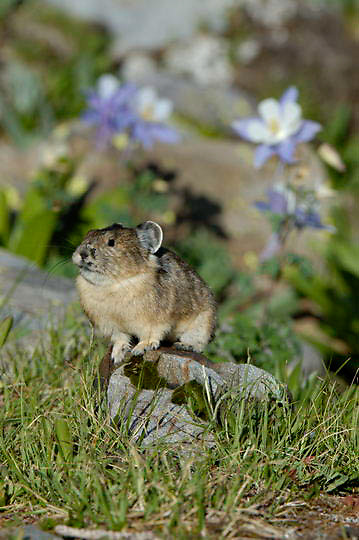 American Pika (Ochotona princeps) Lives in rocky banks and steep boulder covered hillsides at high elevations. Yankee Boy Basin, near Ouray, Colorado. Late Spring.