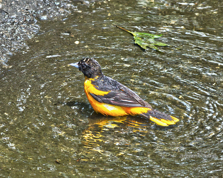 """I captured this image of a Baltimore Oriole on June 17th, 2017. After a recent thunderstorm, this puddle formed in my driveway and many birds came to bathe in it over a period of a couple of weeks. This Baltimore Oriole was actually the first one I've ever seen. I was very happy to photograph this Oriole because I wanted to capture the contrasting, vibrant yellow-gold colors and dark colors of it's plumage. I was surprised to see how well-defined the details of it's feathers are, even though they are wet. I also like how the little droplets of water are sticking to it's dark-colored feathers.<br /> <br /> Printed on Hahnemühle Torchon paper. Limited to 300 productions per size.<br /> <br /> Framed prints are available in 20"""" x 16"""" and 30"""" x 24"""" sizes."""
