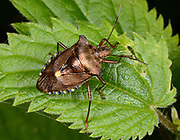 Close-up of an adult forest bug (Pentatoma rufipes) resting on leaves in a Norfolk wood in summer