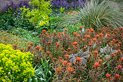 Euphorbia griffithii 'Fern Cottage' and Euphorbia palustris in the borders at Pettifers
