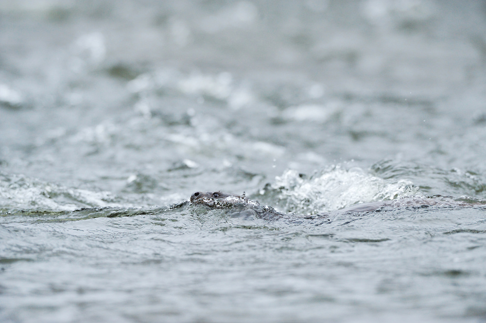 Juvenile Otter fishing / foraging in River Tweed,<br /> Lutra lutra,<br /> Scotland - February