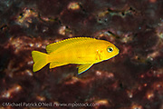 Found only in one small rocky reef in Lake Malawi, Chindongo saulosi, a gorgeous rock dwelling cichlid, is practically extinct in the wild due to unscrupulous tropical fish collectors raping the location to supply fish to hobbyists. Efforts to restock the reef with captive raised fish have not yet produced conclusive results.