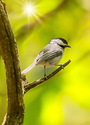A Black-Capped Chickadee On A Tree Branch in Sunlight