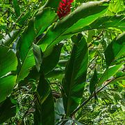 Central America, Centro America, Latin America, Latin, tropical, Costa Rica, Puerto Viejo, Caribbean, Manzanillo Wildlife Refuge, Manzanillo, Lush tropical greenery in the Manzanillo Wildlife Refuge, Costa Rica.