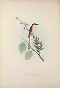 Ashy Prinia (Prinia socialis) from Zoologia typica; or, Figures of new and rare animals and birds described in the proceedings, or exhibited in the collections of the Zoological Society of London. By Fraser, Louis. Zoological Society of London. Published London, March 1847