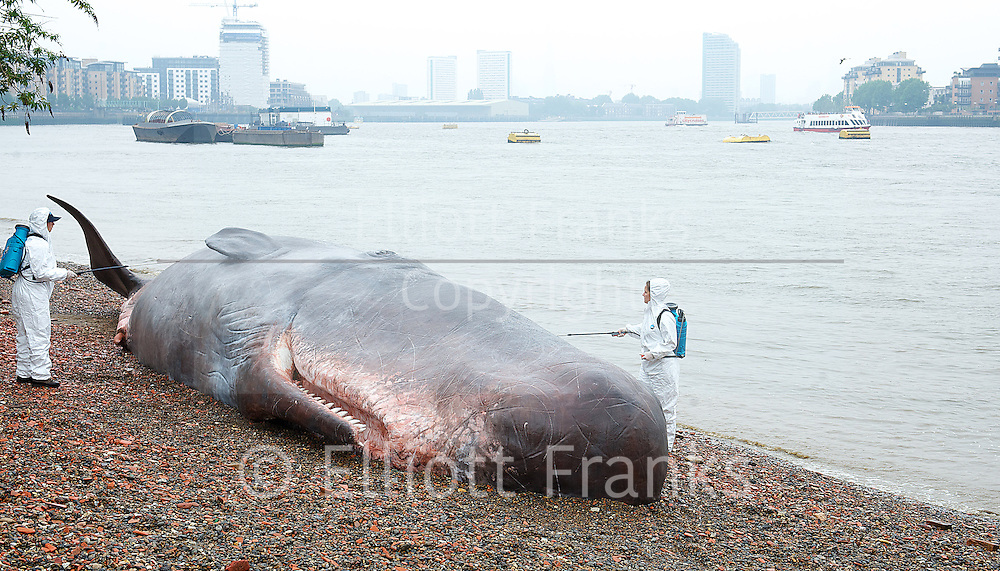 The Great Greenwich Whale<br /> 17 metre sperm whale beaches at Greenwich <br /> London, Great Britain <br /> 20th June 2013 <br /> press photocell <br /> <br /> <br /> as part of the GDIF2013 (Greenwich & Docklands International Festival)<br /> <br /> made by Belgium artists Captain Boomer Collective in collaboration <br /> with Zephyr Wildlife Reconstruction <br /> <br /> Photograph by Elliott Franks
