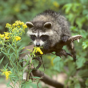 Raccoon, (Procyon lotor) Young coon smelling goldenrod flower head. Summer.   Captive Animal.