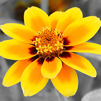 """""""Butter and Jam""""<br /> <br /> A wonderful Zinnia macro in shades that look like that of bright yellow butter, and strawberry jam, on a nearly monochrome background!!<br /> <br /> Flowers and floral images by Rachel Cohen"""