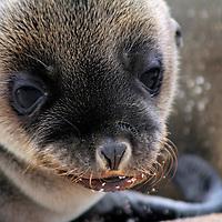 South America, Ecuador, Galapagos, North Seymour Island. Galapagos Sea Lion Pup.