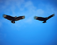 Pair of Black Vultures soaring above Big Cypress Swamp. Image taken with a Nikon Df camera and 400 mm f2.8 lens (ISO 250, 400 mm, f/5.6, 1/1600 sec).