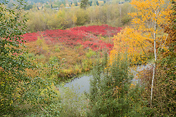 United States, Washington, Bellevue, Mercer Slough Nature Park, blueberry farm