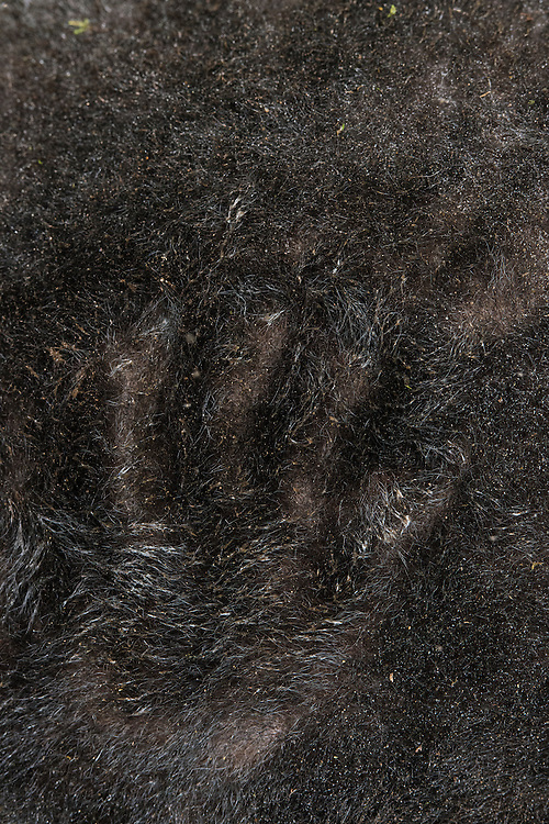 Mountain or Woolly Tapir dense fur (Tapirus pinchaque)<br /> Cayambe Coca Ecological Reserve<br /> Andes<br /> ECUADOR, South America<br /> Range: Ecuador, Colombia, Peru<br /> ENDANGERED<br /> Caught by researchers