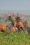 A herd of Père David's deer, or Milu, Elaphurus davidianus, the dominant stag chasing another deer at Hubei Tian'ezhou Milu National Nature Reserve, Shishou, Hubei, China. The dominant harem-keeping stag in the herd.