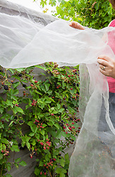 Protecting blackberries from the birds with netting. Rubus fruticosus
