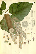 Phytocrene gigantea From Plantae Asiaticae rariores, or, Descriptions and figures of a select number of unpublished East Indian plants Volume III by N. Wallich. Nathaniel Wolff Wallich FRS FRSE (28 January 1786 – 28 April 1854) was a surgeon and botanist of Danish origin who worked in India, initially in the Danish settlement near Calcutta and later for the Danish East India Company and the British East India Company. He was involved in the early development of the Calcutta Botanical Garden, describing many new plant species and developing a large herbarium collection which was distributed to collections in Europe. Several of the plants that he collected were named after him. Published in London in 1832