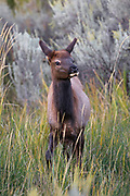 Elk Calf near Gardiner, Montana.