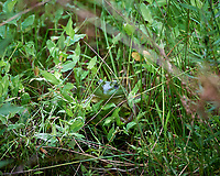 Kermit the Bull Frog Hiding in the Grass. Image taken with a Nikon D5 camera and 80-400 mm VRII lens