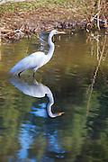 Great Egret At El Dorado Regional Park In Long Beach